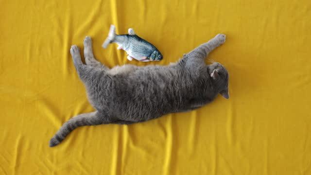 肥満英国のショートヘア猫はおもちゃの魚に興味がありません - ショートヘア種の猫点の映像素材/bロール