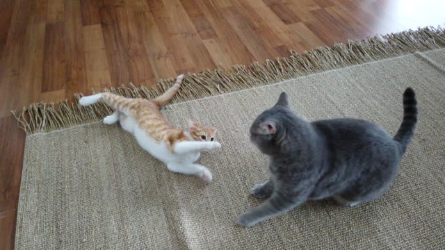 obese cat and kitten cats fighting together in home - fighting stock videos & royalty-free footage