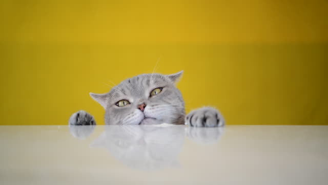 obese cat ( grey british sort hair ) licks spilled ice cream on table - coloured background stock videos & royalty-free footage