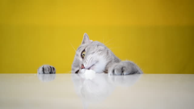 obese cat ( grey british sort hair ) licks spilled ice cream on table - sweet food stock videos & royalty-free footage