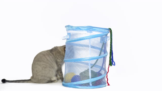 obese cat - laundry basket stock videos and b-roll footage