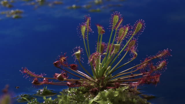 tl oblong sundew grows in bog, uk - insectivore stock videos & royalty-free footage