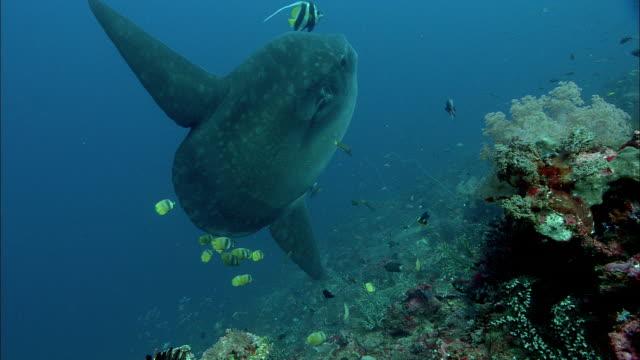 stockvideo's en b-roll-footage met ocean sunfish (mola mola), indonesia - klompvis