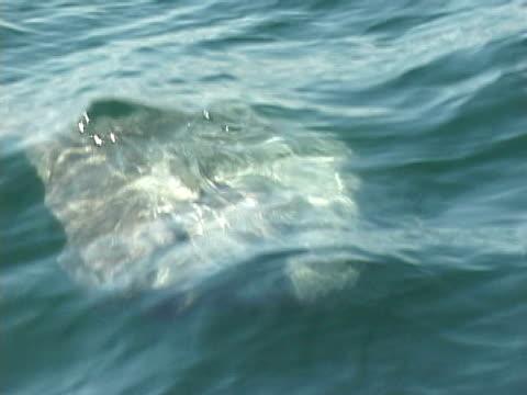 stockvideo's en b-roll-footage met ocean sunfish (mola mola) sunbathing - klompvis