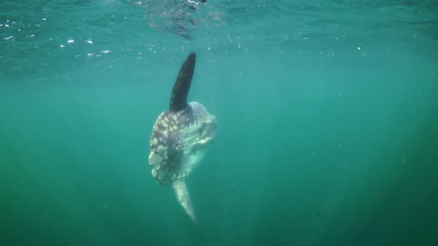 Ocean sunfish swimming along the surface, Betty's Bay, South Africa.