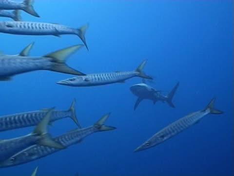 vídeos de stock e filmes b-roll de oceanic black-tip shark ws as swims away from barracuda shoal - tubarão galha preta