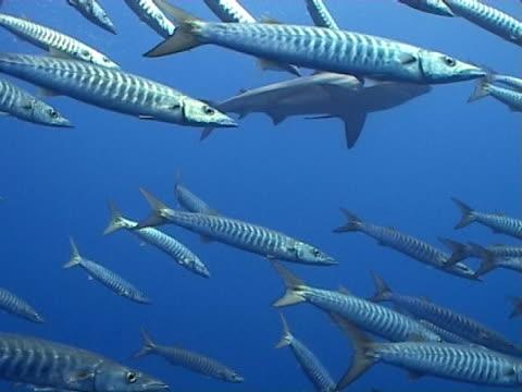 oceanic blacktip shark ws glimpsed through barracuda - blacktip shark stock videos & royalty-free footage