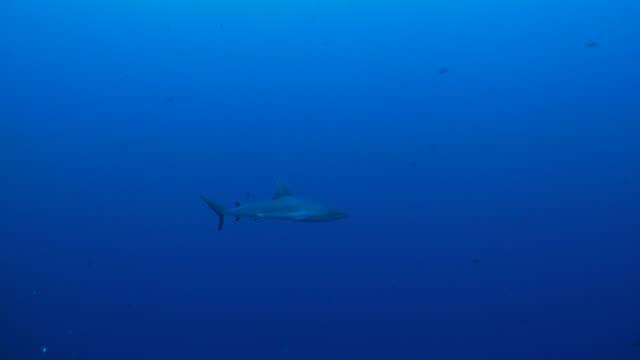 海洋の blacktip サメ、パラオ、ミクロネシア - カマストガリザメ点の映像素材/bロール