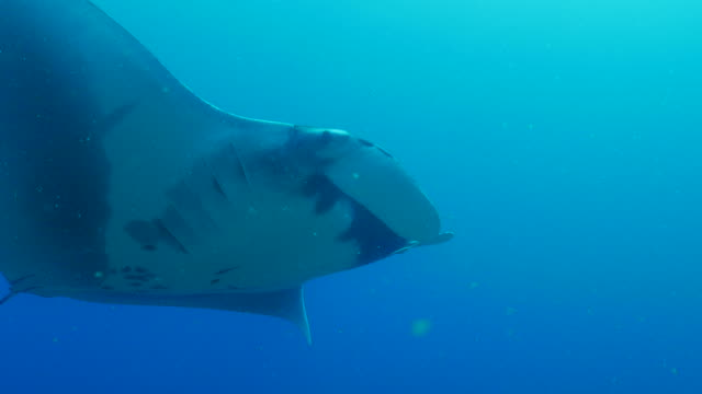 Oceanic Manta Ray approach