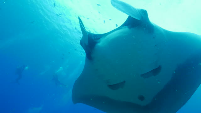 oceanic manta ray close to scuba diver - manta ray stock videos and b-roll footage