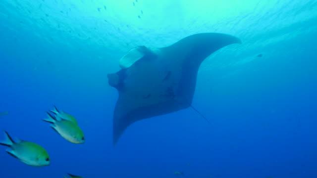 oceanic manta ray, damsel fish - manta ray stock videos and b-roll footage