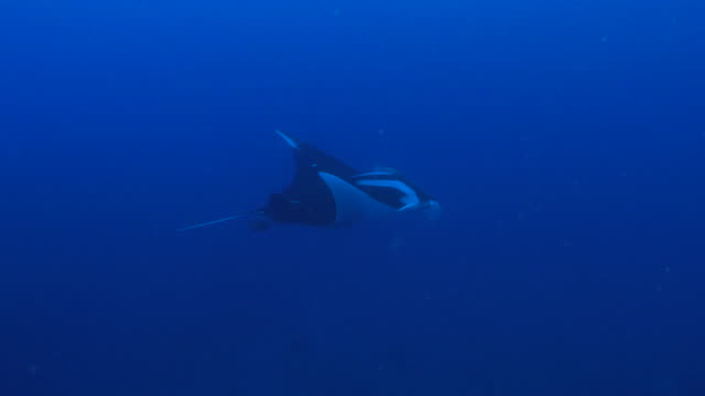 oceanic manta ray flying at sea, mexico - manta ray stock videos & royalty-free footage