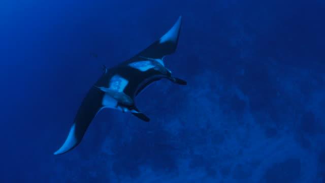 oceanic manta ray (manta birostris) flying undersea - manta ray stock videos & royalty-free footage