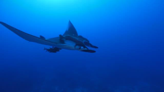 oceanic manta ray (manta birostris) in socorro, mexico - manta ray stock videos & royalty-free footage
