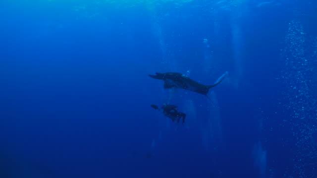 Océanique raie manta (Manta birostris) jouant avec scuba diver, Mexique