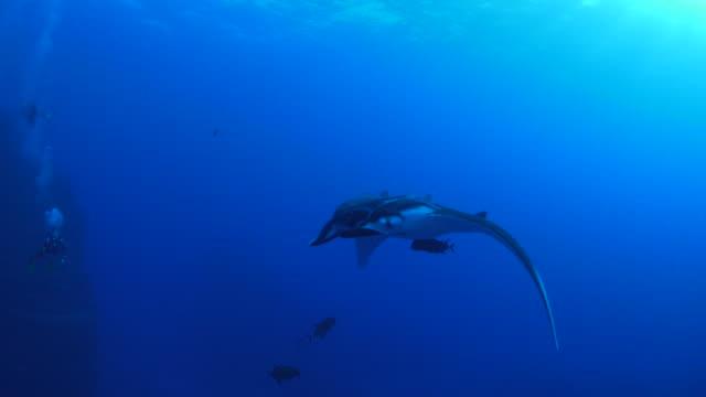 oceanic manta ray (manta birostris) swimming close to camera - manta ray stock videos & royalty-free footage