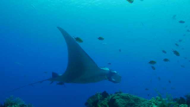 Oceanic Manta Ray swimming in coral reef