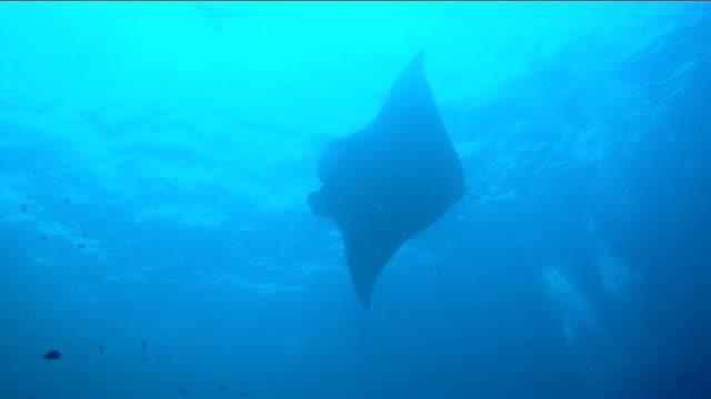 oceanic manta ray (manta birostris) simning över rengöringsstation. klassas som 'sårbar till utrotning' på iucn: s rödlista, blir dessa graciösa varelser en ovanlig syn i naturen. - dykarperspektiv bildbanksvideor och videomaterial från bakom kulisserna
