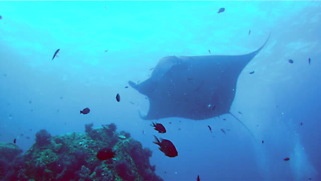 oceanic manta ray (manta birostris) swimming over cleaning station. classed as 'vulnerable to extinction' on the iucn red list, these graceful creatures are becoming a rare sight in the wild. - symbiotic relationship stock videos & royalty-free footage