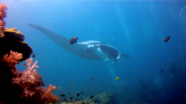 Oceanic Manta Ray (Manta birostris) swimming over cleaning station. Classed as 'Vulnerable to Extinction' on the IUCN Red list, these graceful creatures are becoming a rare sight in the wild.