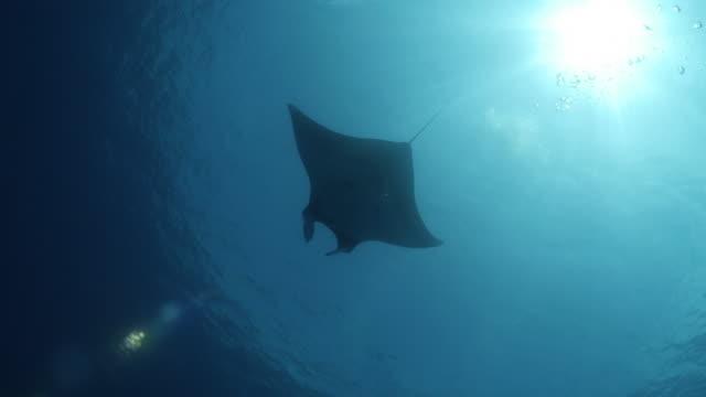 oceanic manta ray swimming under sea surface, maldives - manta ray stock videos & royalty-free footage