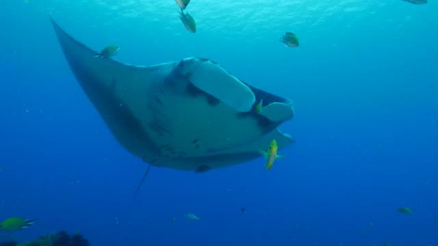 oceanic manta ray - manta ray stock videos and b-roll footage