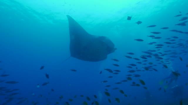 Océanique Manta Ray