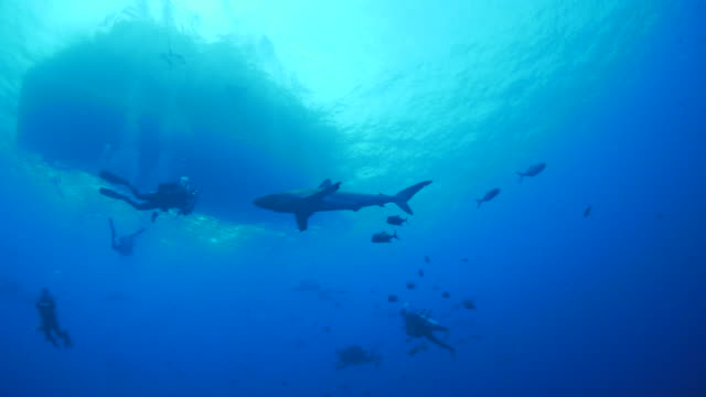 Oceanic Silky shark attracted by fishes under boat