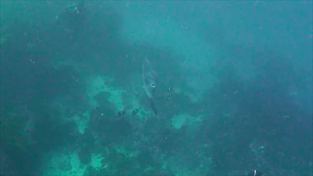 """stockvideo's en b-roll-footage met oceanic sunfish, or mola mola, swimming through a small school of king angelfish at the dive site called """"punta vicente roca"""" on the northern shores of isabela island, galapagos islands, ecuador. - klompvis"""