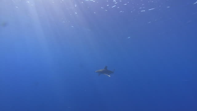 vídeos de stock, filmes e b-roll de oceanic white tip (carcharhinus longimanus)comes by quite close, red sea. egypt - carcharhinus longimanus