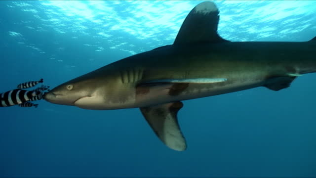 oceanic white tip shark - oceanic white tip shark stock videos & royalty-free footage