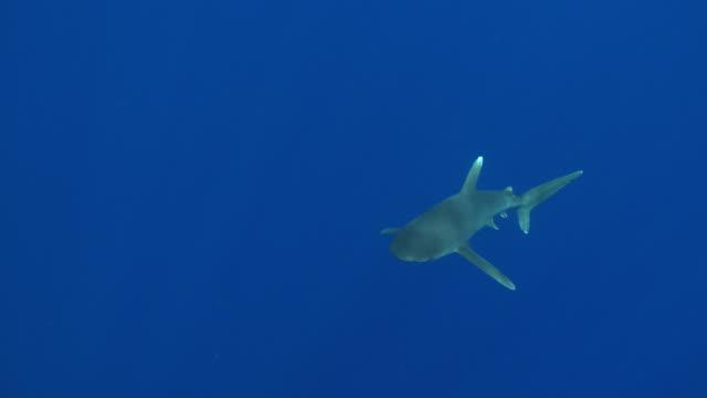 vídeos de stock, filmes e b-roll de ms ts oceanic whitetip shark around bouy line / hawaii, united states - carcharhinus longimanus