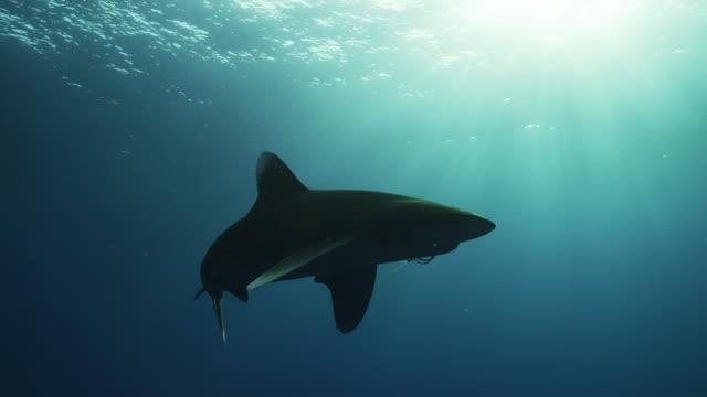 oceanic whitetip shark at dusk - oceanic white tip shark stock videos & royalty-free footage