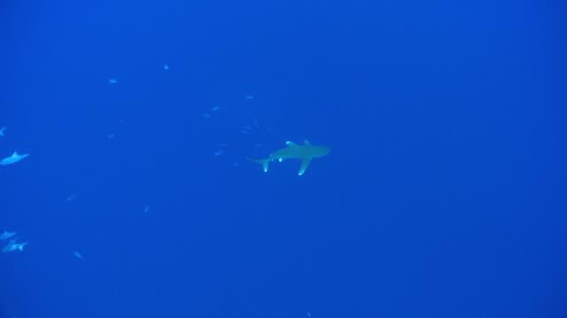 vídeos de stock, filmes e b-roll de ws oceanic whitetip shark / hawaii, antarctica, united states - carcharhinus longimanus