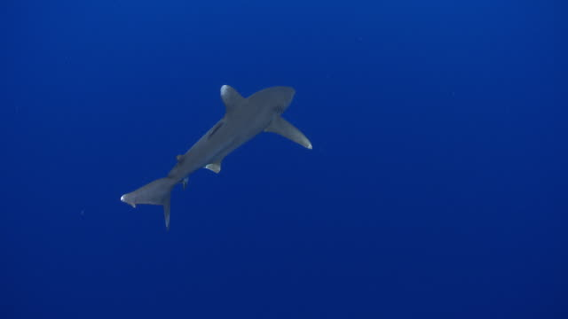ms oceanic whitetip shark / hawaii, united states - hawaii islands stock videos & royalty-free footage