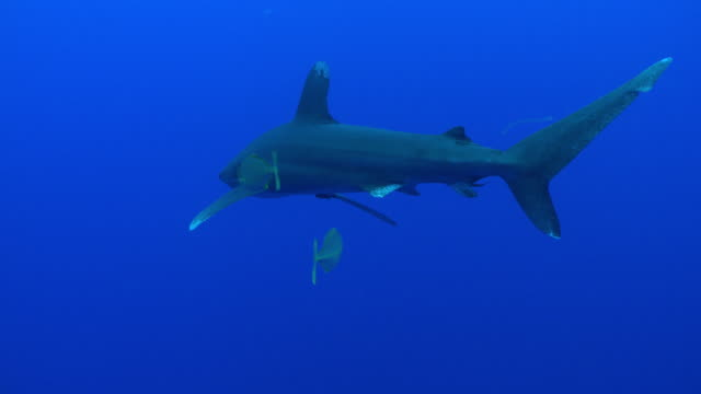 ms oceanic whitetip shark / hawaii, united states - small stock videos & royalty-free footage