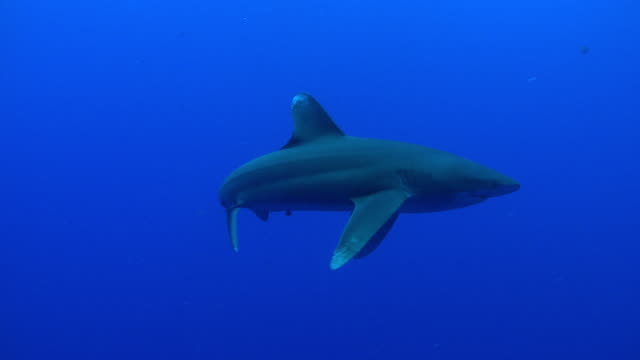 ms oceanic whitetip shark / hawaii, united states - ペレスメジロザメ点の映像素材/bロール