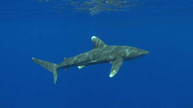 MS TS Oceanic whitetip shark / Hawaii, United States