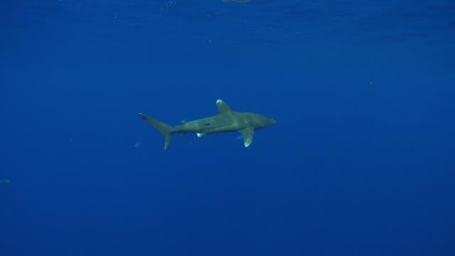 ms ts oceanic whitetip shark / hawaii, united states - oceanic white tip shark stock videos & royalty-free footage