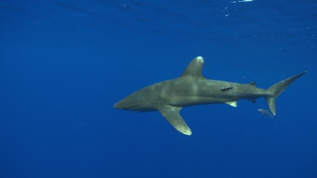 vídeos de stock, filmes e b-roll de ms oceanic whitetip shark / hawaii, united states - carcharhinus longimanus