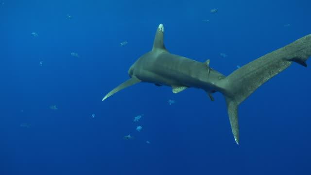 vídeos de stock, filmes e b-roll de ms ts oceanic whitetip shark / hawaii, united states - carcharhinus longimanus