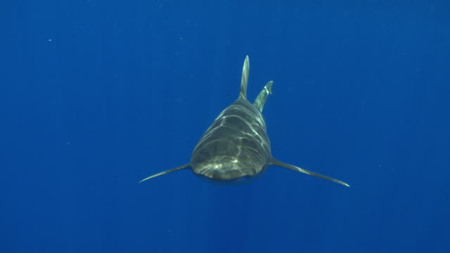 ms ts oceanic whitetip shark / hawaii, united states - whitetip reef shark stock videos & royalty-free footage