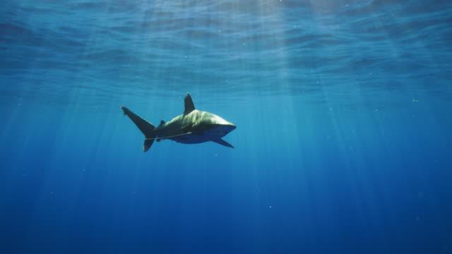 oceanic whitetip shark in slow motion - oceanic white tip shark stock videos & royalty-free footage