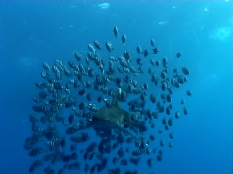 oceanic white-tip shark, ws-cu pilot fish shoal, swim together passed camera - pilot fish stock videos & royalty-free footage