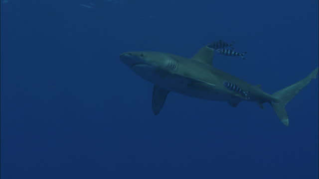 oceanic whitetip shark (carcharhinus longimanus) swims in ocean, caribbean, bahamas - pilot fish stock videos & royalty-free footage