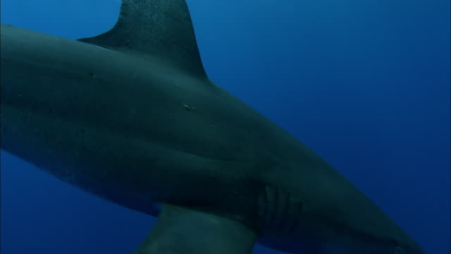 oceanic whitetip shark (carcharhinus longimanus) swims in ocean, caribbean, bahamas - pilot fish stock videos and b-roll footage