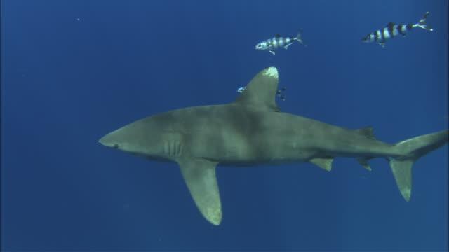 vidéos et rushes de oceanic whitetip shark (carcharhinus longimanus) swims in ocean, caribbean, bahamas - poisson pilote
