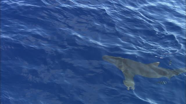 vídeos de stock, filmes e b-roll de oceanic whitetip shark (carcharhinus longimanus) swims in ocean, caribbean, bahamas - carcharhinus longimanus