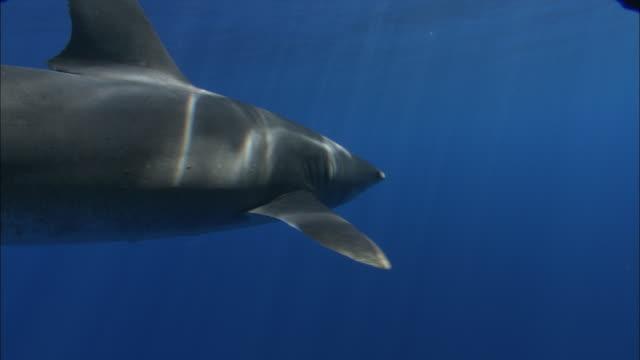 oceanic whitetip shark (carcharhinus longimanus) swims in ocean, caribbean, bahamas - oceanic white tip shark stock videos & royalty-free footage