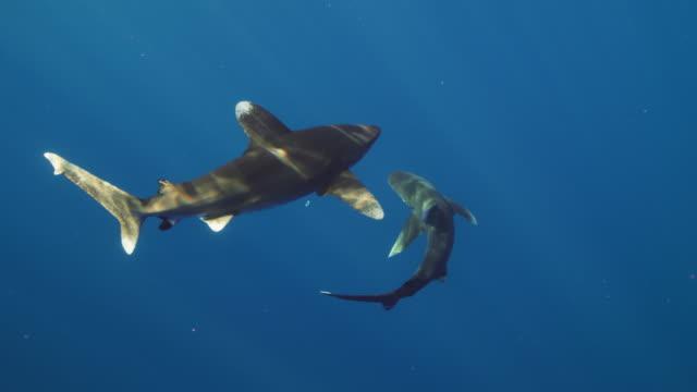 oceanic whitetip shark - oceanic white tip shark stock videos & royalty-free footage